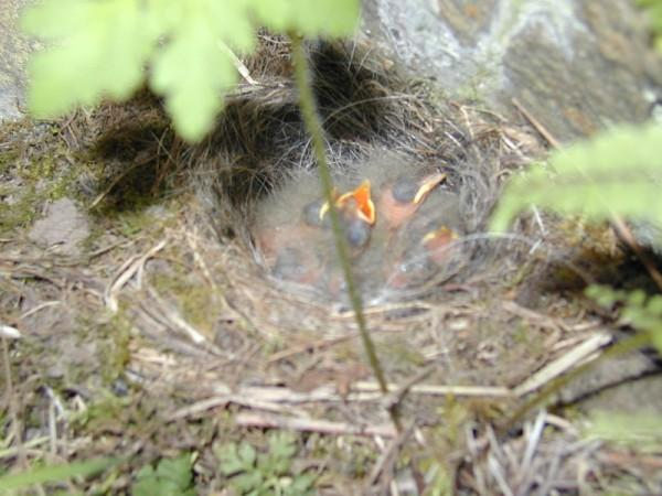 Grey Wagtail Motacilla cinerea chicks, recently hatched