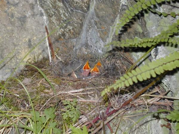 Grey Wagtail Motacilla cinerea chicks in the nest