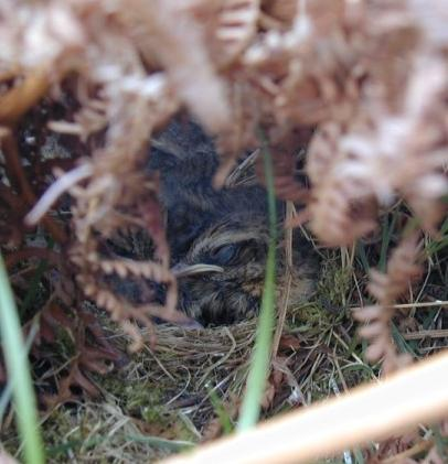 Whinchat Saxicola rubetra chicks in nest