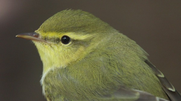 a letter to mom small green bird small birds birds by dave silvereye 20334